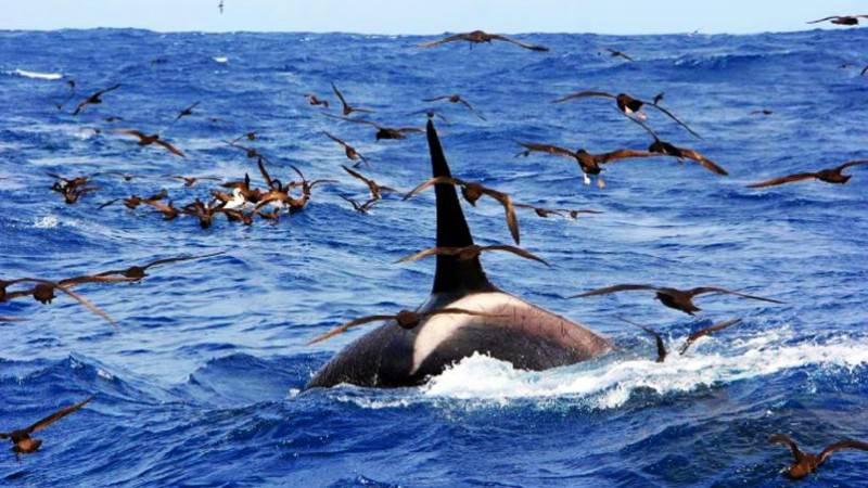 Killerwahl / Orca