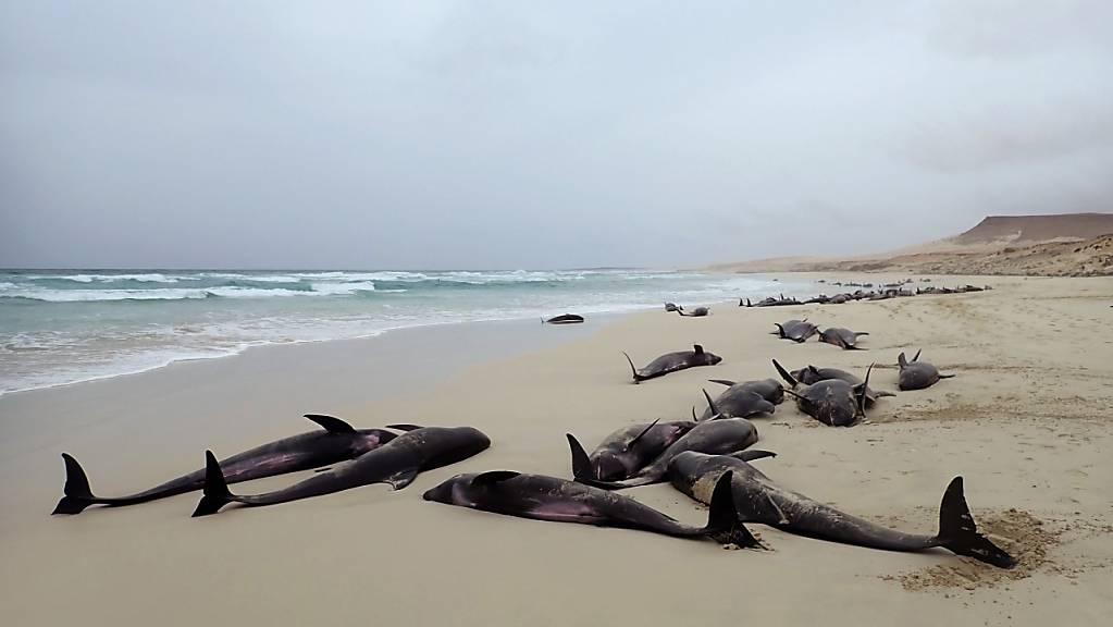 An der französischen Westküste sind 17 Delfine gestrandet. Hilfskräfte konnten 14 Tiere wieder ins Meer zurücklotsen. Drei Delfine verendeten. (Symbolbild)