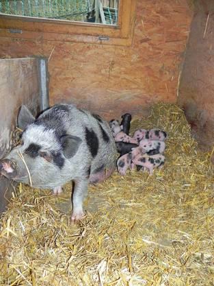 Da waren Sie erst wenige Tage alt: Die Minipigs mit Mutter Kira im Stall.