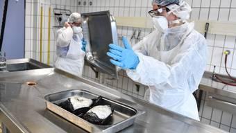 Zwei deutsche Veterinäre untersuchen Reiherenten, die an der Vogelgrippe gestorben sind – im Aargau gibt es bisher noch keine Verdachtsfälle.
