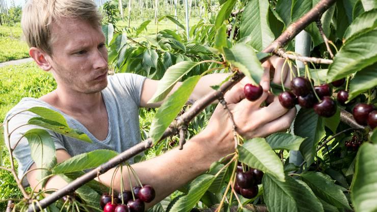 bz-Redaktor Leif Simonsen arbeitet für einen Tag als Erntehelfer beim Bauern Robert Degen auf dem Hof Habsen.