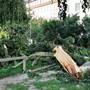 Ein Prachtsbaum verliert ohne Vorwarnung einen Ast. Derzeit kommt das vermehrt vor wegen der Trockenheit. (Archiv)