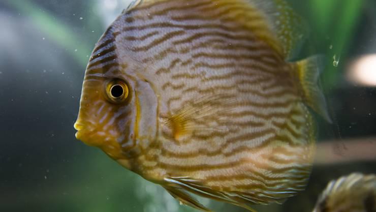 Die bislang in Lausanne angekommenen Fische befinden sich vor der Eröffnung von Aquatis Ende September noch in Quarantäne.