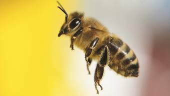 Das schweizweit erste Projekt dieser Art soll den Bienen im Aargau helfen.