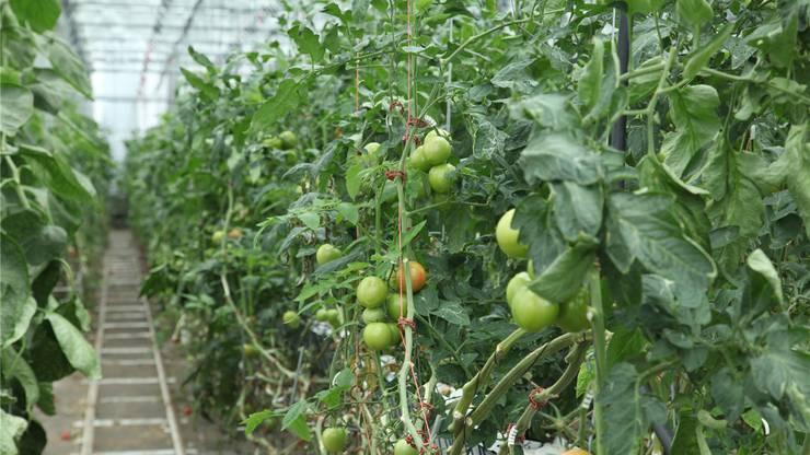 Noch teuer, garantiert frisch: Tomaten vom Block nebenan.