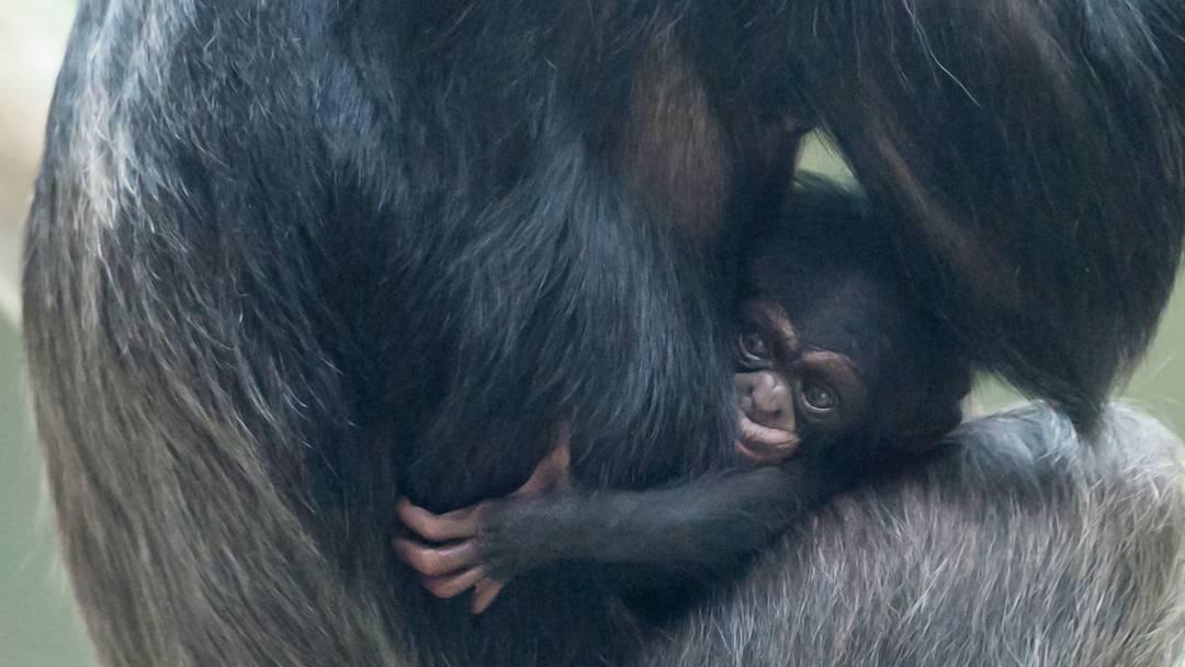 Zuckersüss: Der Schimpansen-Junge Ozouri mit seiner Mutter Fifi.