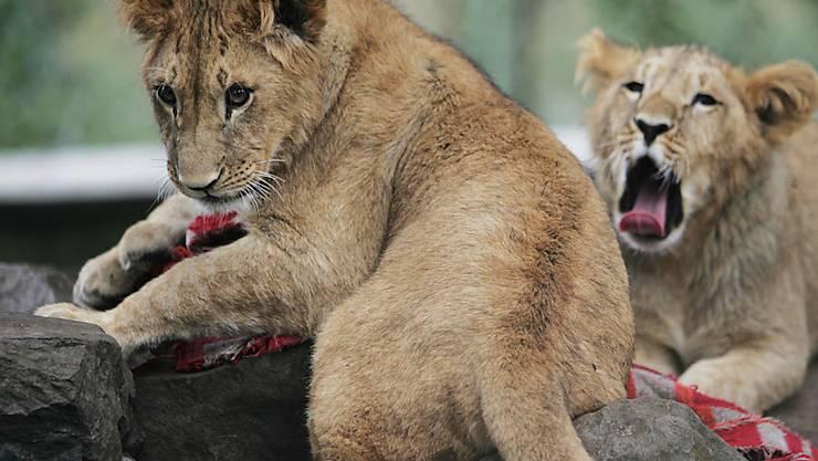 Löwenbabys in Addis-Abeba: Tierschützer fanden dank Fotofallen ein bislang unbekanntes Löwen-Volk in einem Nationalpark in Äthiopien. (Archivbild)