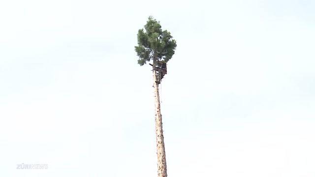 Mammutbaum in Baden gefällt