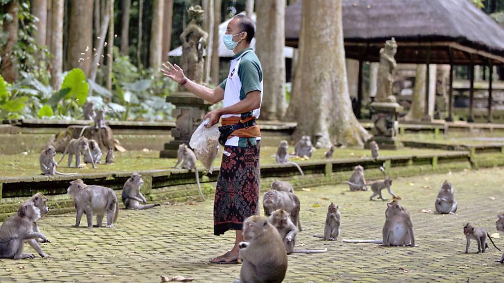 Made Mohon, Park-Manager des Sangeh Monkey Forest, füttert Makaken mit gespendeten Erdnüssen in der Touristenattraktion in Sangeh, Bali. Wegen Corona bleiben auf Bali die Touristen aus und damit das Fressen für Hunderte Affen. Immer häufiger würden hungrige Makaken deshalb Häuser überfallen. Foto: Firdia Lisnawati/AP/dpa