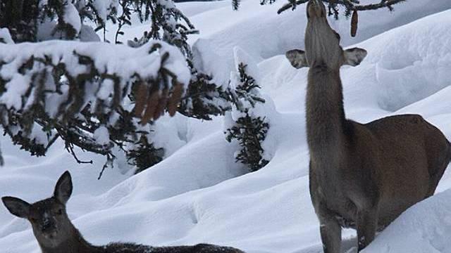 Wildtiere litten unter strengem Winter