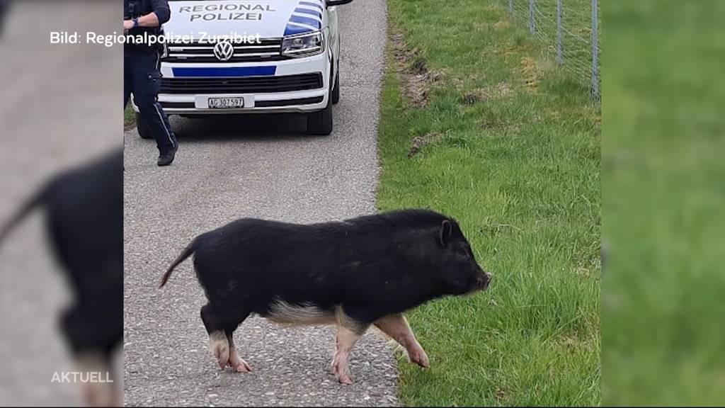 «Schwein gehabt»: Happy End für Minischwein
