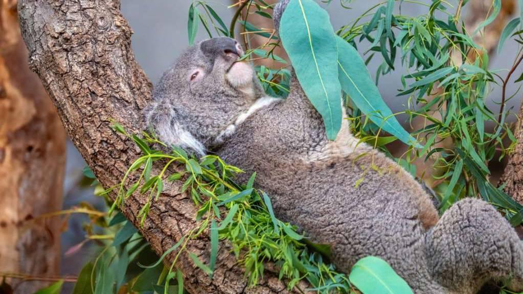 Koala Mikey frass im Zoo Zürich bis zuletzt genüsslich Eukalyptus-Blätter. Eines Morgens fanden ihn die Pfleger tot vor.