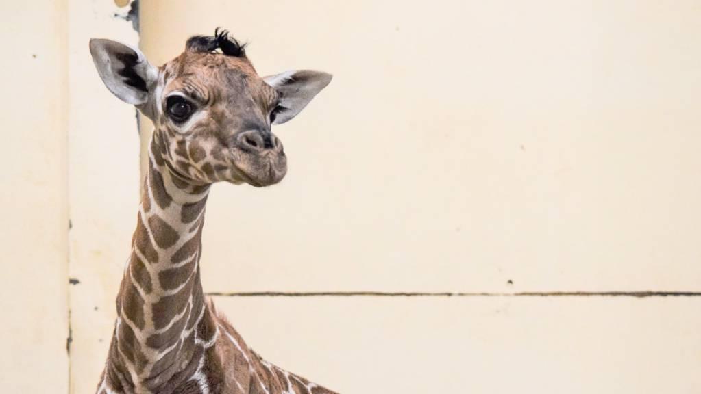 HANDOUT - Die Baby-Giraffe «Margaret» wurde nach der ersten Corona-Impfpatientin Großbritanniens benannt. Foto: Zsl Whipsnade Zoo/PA Media/dpa - ACHTUNG: Nur zur redaktionellen Verwendung und nur mit vollständiger Nennung des vorstehenden Credits