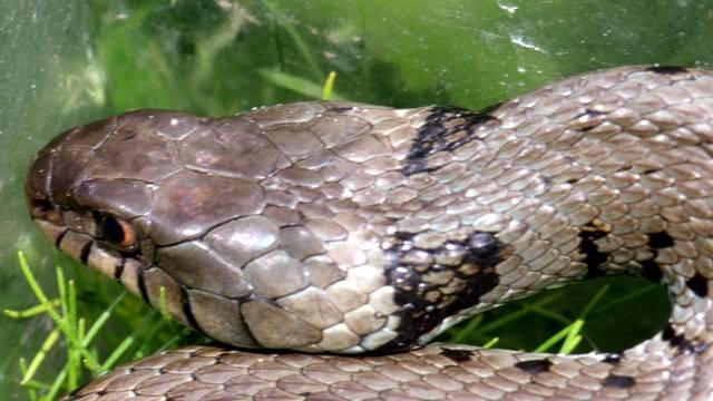 Die ungiftige Ringelnatter ist die am weitesten verbreitete Schlange.