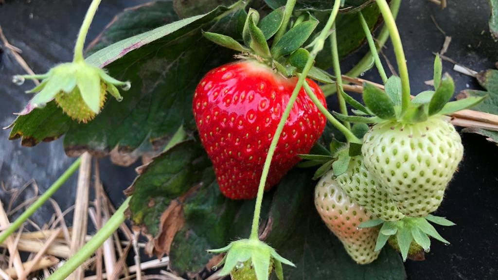 Die Aargauer Erdbeeren-Saison ist eröffnet