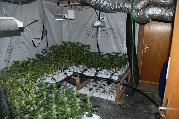 500 Hanfpflanzen wurden sichergestellt.
