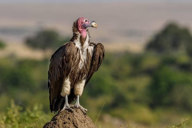 Der Ohrengeier kann mit seinem starken Schnabel die dicke Haut eines toten Tieres aufbrechen, um zum weichen Fleisch zu gelangen.