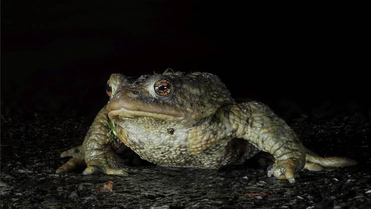 Amphibien sind wechselwarme Tiere. Zum Laichen brechen sie erst auf, wenn es mehrere Nächte wärmer als fünf Grad ist.