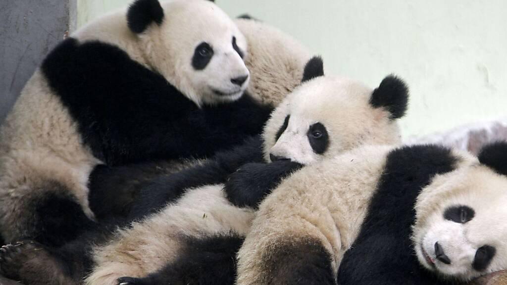 Pandadame Huan Huan in französischem Zoo bringt Zwillinge zur Welt