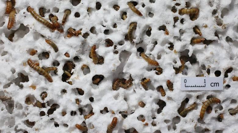 Mehlwürmer fressen sich durch Styropor.