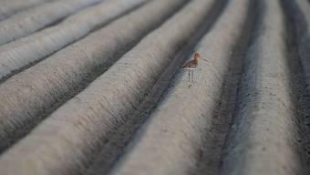 Das Siegerbild des Fotowettbewerbs entstand in den Niederlanden. Uferschnepfen rasten regelmässig in kleiner Zahl in der Schweiz auf dem Weg in die Winterquartiere oder auf dem Rückweg nach Norden im Frühjahr.