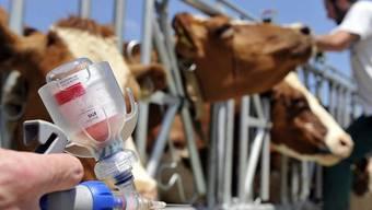 Lebensatem ausgehaucht: Vier Kühe wegen Verdachts auf Rindertuberkulose geschlachtet (Symbolbild)
