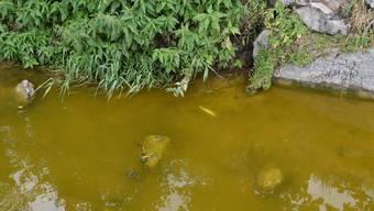 Die Verschmutzung führte zu einem Fischsterben, wobei auf einer Länge von ca. 3,5 Kilometern sämtliche Fische, vor allem Bachforellen, Schmerlen und Groppen vergiftet wurden.