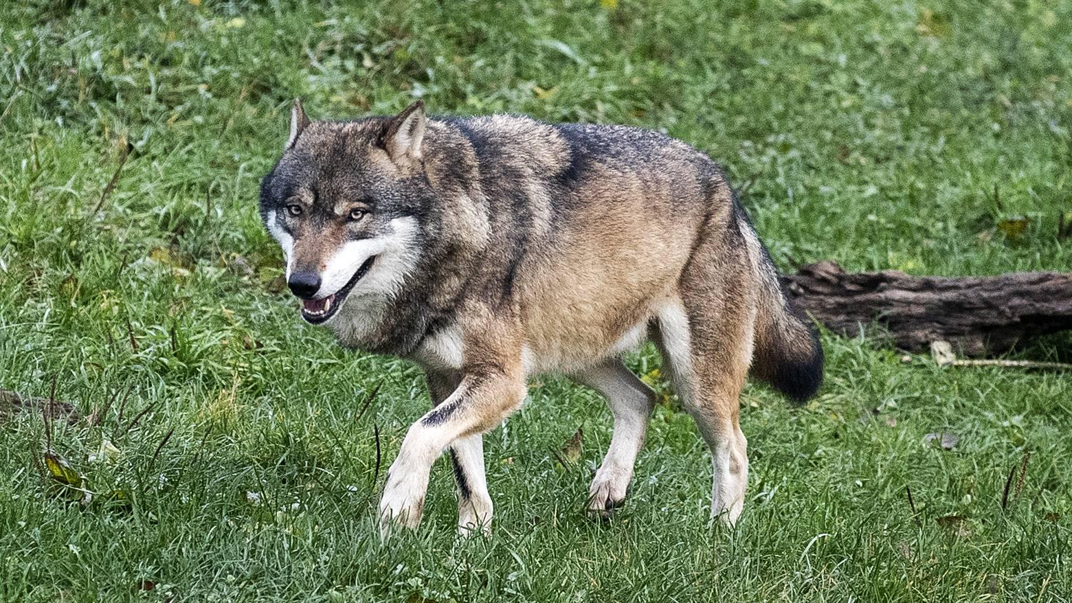 Wölfe sind in der Schweiz geschützt: Sie ohne Bewilligung zu töten, ist strafbar.