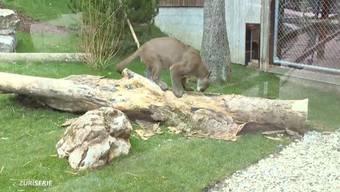 Puma Garfield in seinem neuen Gehege im Siky Park