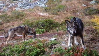 Wildlebende Wölfe (zwei Jungtiere, ca. sechs Monate alt) in der Schweiz (Fotofallenaufnahme)