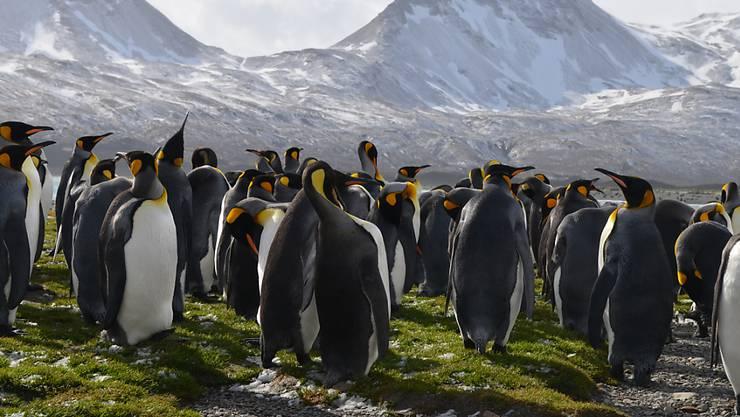 Laut Forschern ist der Bestand an Königspinguinen auf der Ile aux Cochons in den vergangenen 30 Jahren empfindlich zurückgegangen. Im Bild: Pinguine auf Südgeorgien.(Symbolbild)