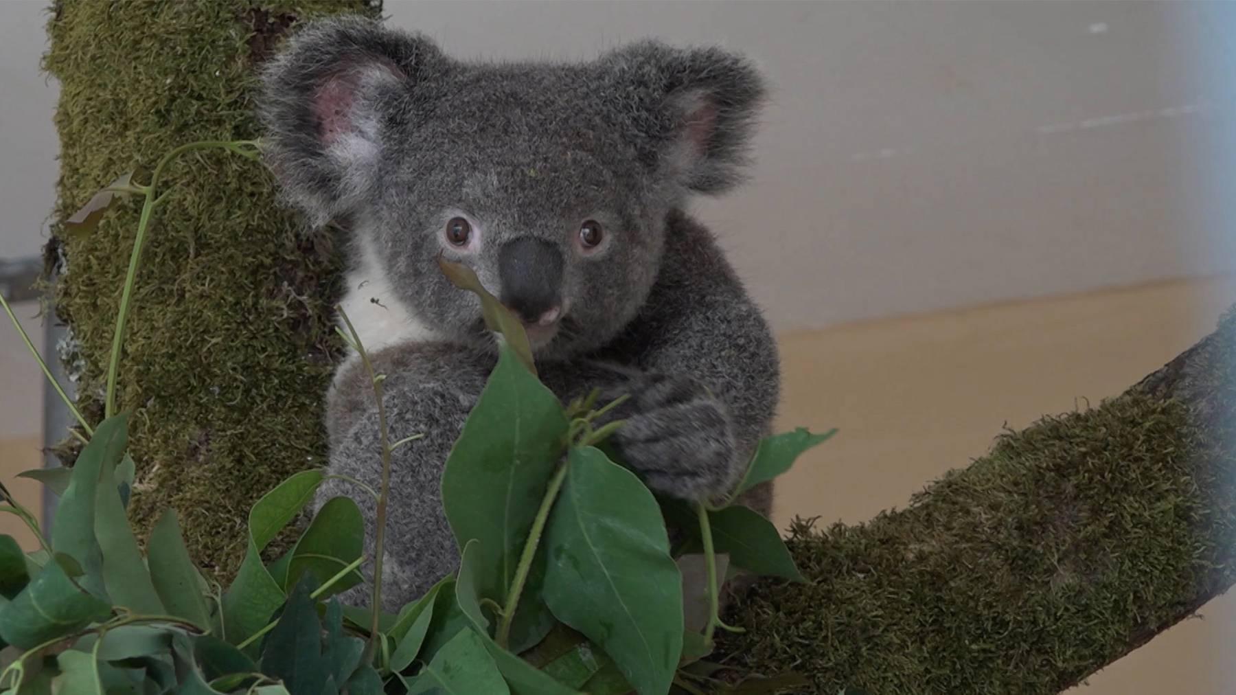 Koala-Weibchen Zoo Zürich
