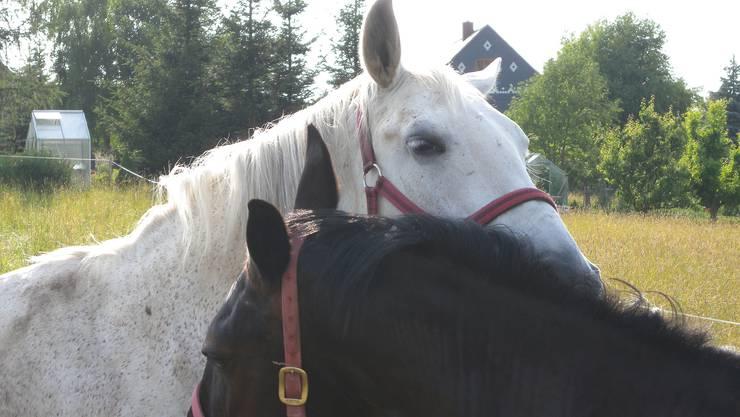 Untersuchungen bestätigten den Verdacht auf die gefährliche Pferdeseuche Rotz nicht. (Archiv)