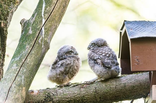 Die Eltern des Weibchens und des Männchens leben seit zwei Jahren im Zolli und ziehen nun ihren ersten Nachwuchs auf.