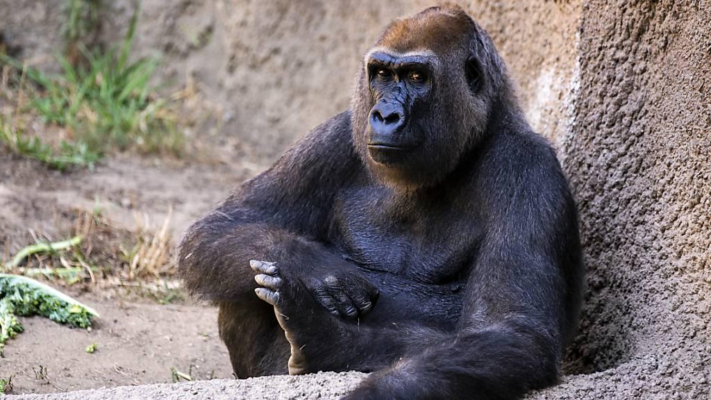 Die Fortpflanzung von Gorillas unterscheidet sich im Freiland und im Zoo nicht.