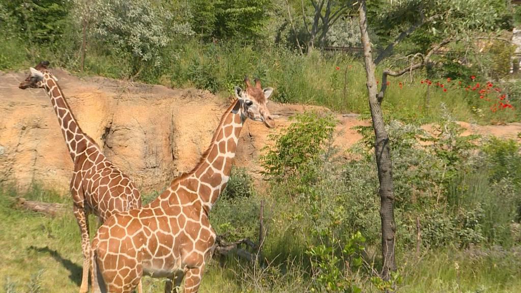 Safari im Zoo Zürich: Die Lewa Savanne wird eröffnet