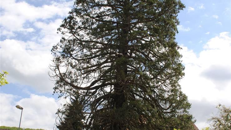 Der Mammutbaum ist nicht mehr zu retten.