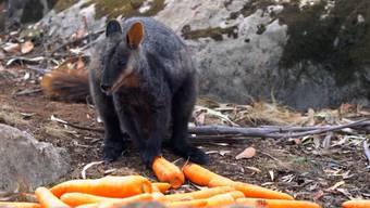 Wildhüter werfen aus Helikoptern Karotten und Süsskartoffeln über den Brandgebieten ab.