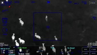 Aus der Luft bietet sich einem Helikopterpiloten in Florida ein seltener Anblick: Eine Kuhherde kreist eine flüchtende Frau ein.