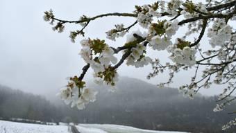 Davor fürchten sich Obstproduzenten: Frost und Schnee, wenn die Bäume blühen.