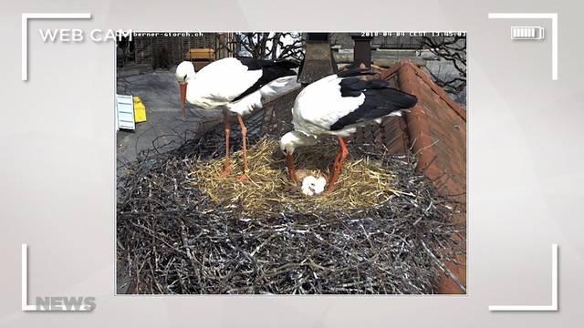 Storchen-Liebespaar in Bern
