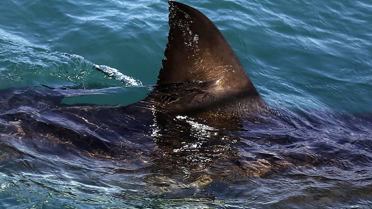 Die Rückenflosse eines weissen Hais in Südafrika. Auch in australischen Gewässern gibt es viele Haie, doch tödliche Angriffe sind selten.
