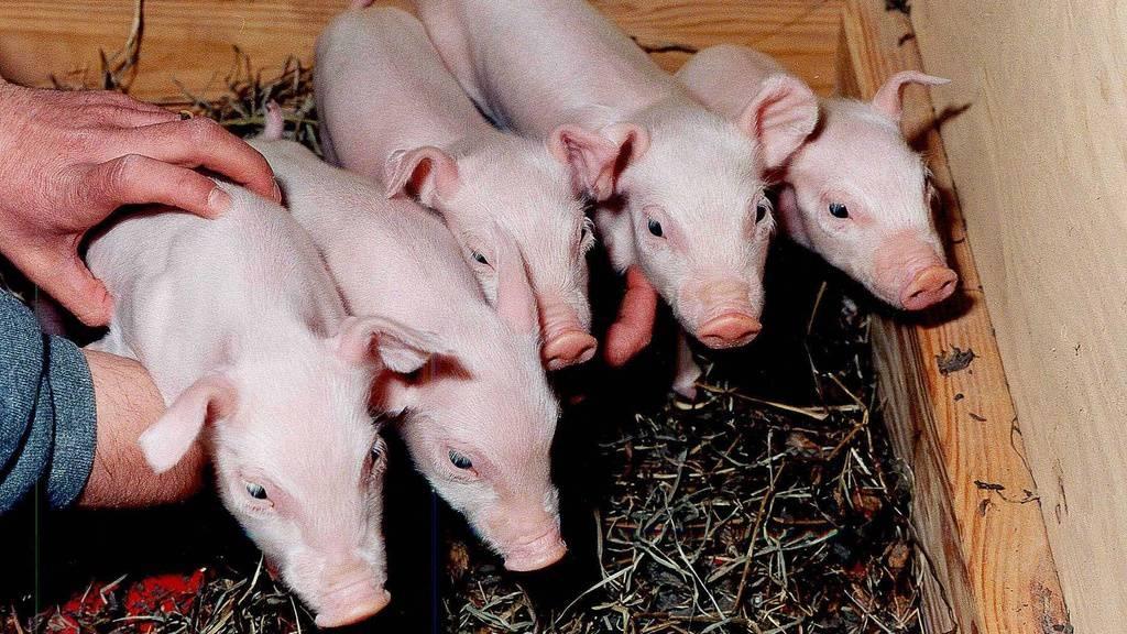 Schweineniere erfolgreich an einen Menschen angeschlossen