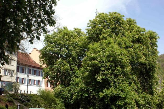Prachtvolle Kastanien stehen im Graben vor der Altstadt