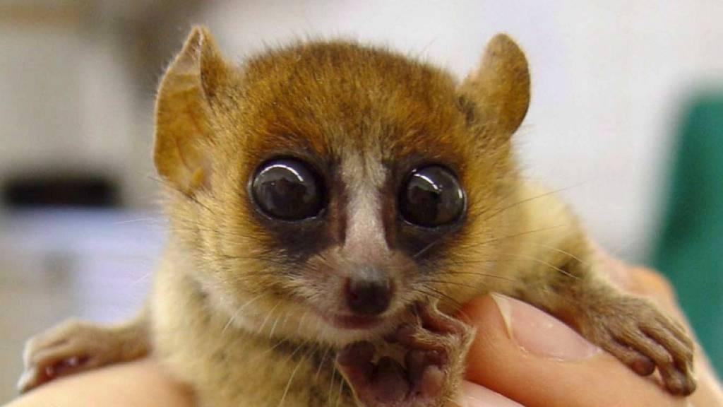 Feldhamster, Lemuren und Glattwale vom Aussterben bedroht