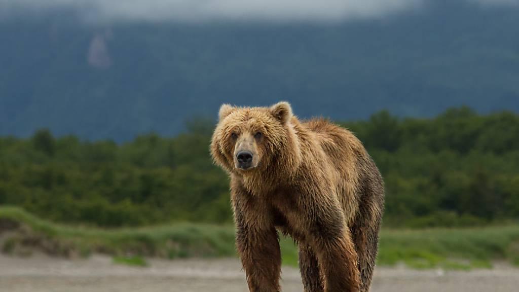 Mann eine Woche lang in der Wildnis von Alaska von Bär verfolgt