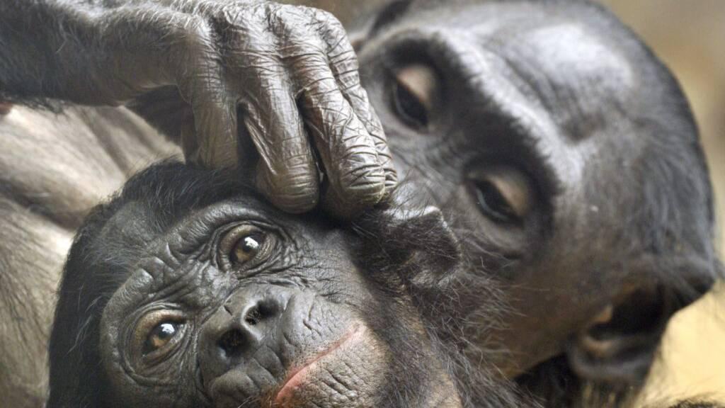 Zwei Bonobos bei der Fellpflege: Wie Menschen begrüssen und verabschieden sich die Affen, wenn sie einer gemeinsamen Tätigkeit nachgehen. (Archivbild)