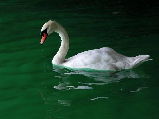 Schwan im grünen Wasser ? Wirkt nur so unter der Quaibrücke in Zürich