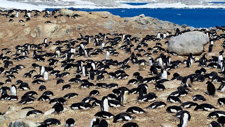 Eine Kolonie Adeliepinguine. Die Ausscheidungen von Pinguinen und See-Elefanten fördern die Artenvielfalt in der Antarktis. (Archivbild)