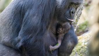 Gorilla-Baby im Zolli